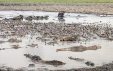 En el Casanare mueren miles de animales por sequía