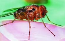 Científicos diseñan mecanismo auditivo inspirado en una mosca