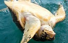 Una de las dos tortugas liberadas en Morrosquillo.
