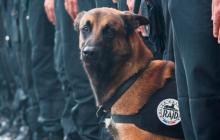 'Diesel',  perra pastor belga, de la policía francesa.