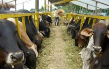 Colombia exportará 13.900 bovinos a países de Medio Oriente