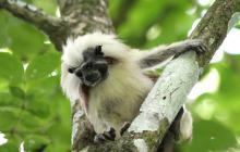 Mono tití cabeciblanco, endémico de la Región Caribe.