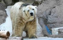 Controversia en Argentina por muerte de Arturo, último oso polar en cautiverio del país