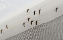 Mosquitos Aedes aegypti.