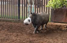 Murió 'Esperanza', una rinoceronte sudafricana víctima de la caza furtiva
