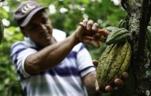 Producción de cacao llegará a 54.000 toneladas