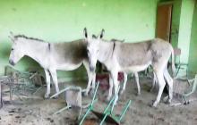 En Sucre, Sucre, los burros… van al colegio