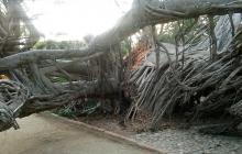 Se cae centenario y emblemático árbol en la Quinta De San Pedro Alejandrino