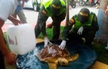Pescadores entregan tortuga de 50 años que quedó atrapada en redes