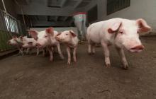 Consumo de cerdo en el país se duplicó en los últimos seis años: Porkcolombia
