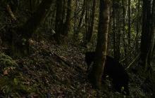 Oso de anteojos es avistado por primera vez en 15 años en el Parque Serranía de Minas en el Huila