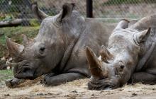 Zoo acorta los cuernos a sus rinocerontes para evitar que se los roben