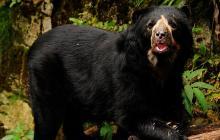 Minambiente anuncia investigación por muerte de oso andino con arma de fuego
