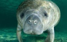 EEUU retira al manatí de su lista de especies en peligro de extinción