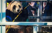 Uno de los osos panda cuando era trasladado desde el aeropuerto de Amsterdam.