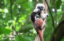 Doce crías de tití cabeciblanco nacieron en bosque de Luriza