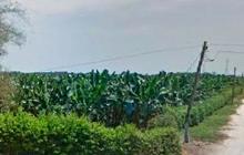 La sal de la tierra afecta producción de banano en el Magdalena