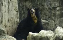 Con tutela buscan tumbar fallo de habeas corpus a favor del oso 'Chucho'
