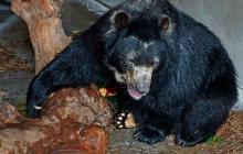 El oso 'Chucho' se queda por ahora  en Barranquilla