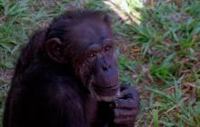 El santuario en el que Cecilia, la chimpancé, se recupera de las heridas del encierro