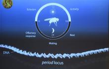 Moscas, claves en el análisis del ritmo circadiano de los Nobel de Medicina