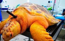 Con cirugía salvan tortuga marina hallada en Tasajera