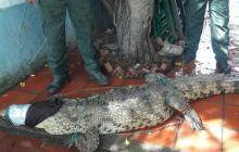 Entre Turbaco y Arjona, rescatan un cocodrilo de tres metros de largo