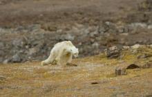 En video | La agonía de un oso desnutrido que conmueve las redes sociales