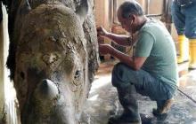 Última rinoceronte de Sumatra está gravemente enferma