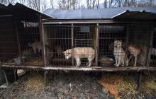 Los defensores de los animales intensificaron sus esfuerzos para prohibir el consumo de la carne de perro.