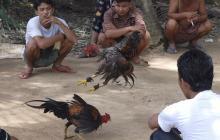 Policía de Camboya incauta gallos de pelea y acaban en sus platos