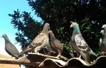 Lo máximo que pueden volar las palomas mensajeras son 600 kilómetros entre 60 y 70 kilómetros por hora.