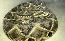 Buscan a hombre que vendía serpiente venenosa por Facebook