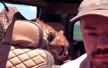 Guepardo sube a jeep en pleno safari y miren lo que ocurre