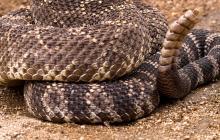 Imagen de una serpiente cascabel.
