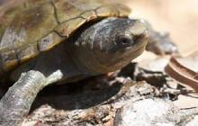 México descubre especie de tortuga del tamaño de la palma de la mano