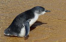 Indignación en Australia por leve condena a un hombre que mató 6 pingüinos