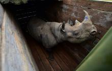 En video   Primeros embriones in vitro para preservar el rinoceronte blanco del norte