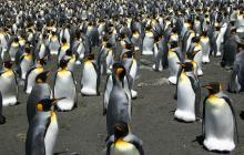 Colonia de pingüinos rey disminuye casi un 90% en 35 años