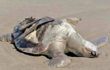 Hallan 122 tortugas muertas en playa de México
