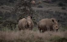 En video   Así fue la trágica muerte de 11 rinocerontes en Kenia
