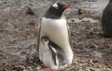Pareja de pingüinos machos se comportan como padres tras incubar un huevo