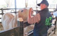 El ICA mantiene un estricto control sobre la población bovina.