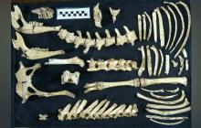 Hallan fósil de ciervo prehistórico muy bien preservado en Argentina