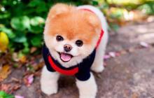 Muere 'Boo', el perro más 'tierno de redes sociales'