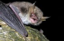 Dos nuevas especies de murciélagos son halladas