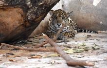 Un jaguar fue recuperado en el corregimiento Los Venados y se encuentra en proceso de rehabilitación para luego liberarlo a su hábitat natural.