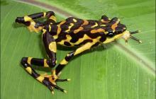 Detectan anfibio no visto en 150 años en una provincia amazónica de Ecuador