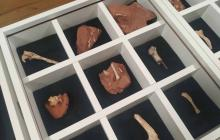 Huesos fosilizados de un dinosaurio descubierto.