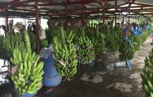 Gobierno refuerza medidas para controlar sospecha de hongo en zona bananera de La Guajira